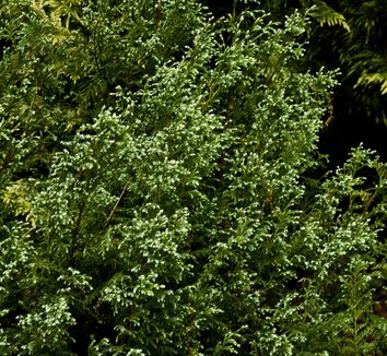 Chamaecyparis pisifera 'Snow' 9