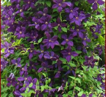 clematis viticella 39 polish spirit 39 clematis plant lust. Black Bedroom Furniture Sets. Home Design Ideas