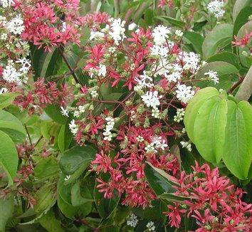Heptacodium miconioides 3 flower