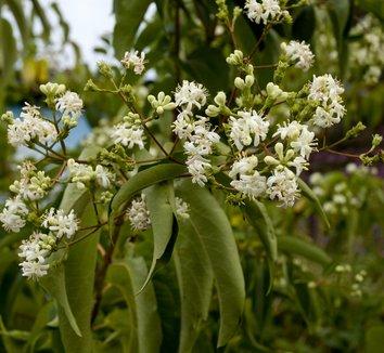 Heptacodium miconioides 4 flower