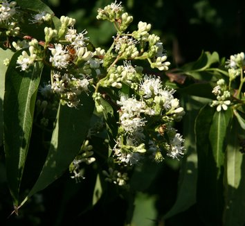 Heptacodium miconioides 5 flower