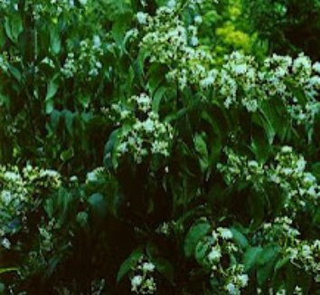 Heptacodium miconioides 6 flower
