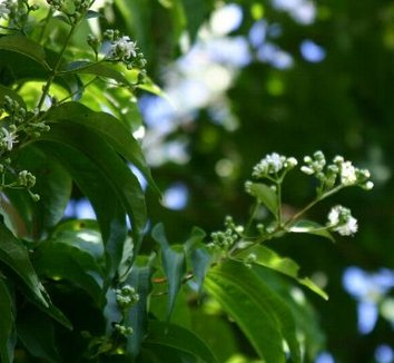 Heptacodium miconioides 9 flower