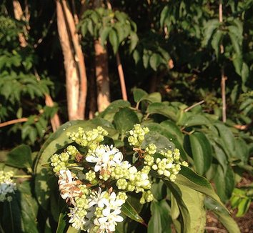 Heptacodium miconioides 16 flower