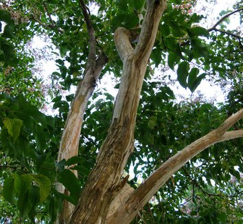 Heptacodium miconioides 17 trunk