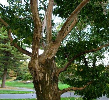 Heptacodium miconioides 18 trunk
