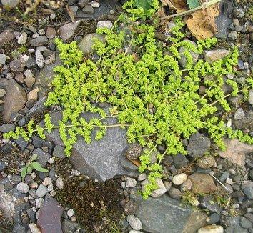 Herniaria Glabra Rupturewort Green Carpet Plants - Carpet ...