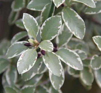 Pittosporum tenuifolium 'Marjorie Channon' 3