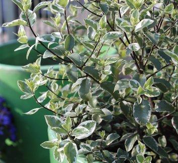 Pittosporum tenuifolium 'Marjorie Channon' 8