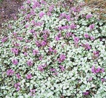 Lamium maculatum 'Beacon Silver' 4 flower