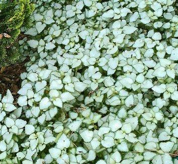 Lamium maculatum 'Beacon Silver' 5