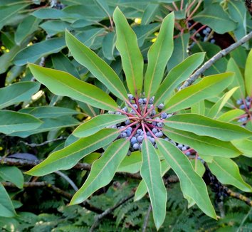 Daphniphyllum macropodum 1