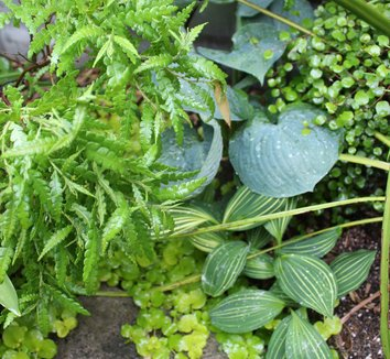 Comptonia peregrina 5 landscape