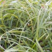 Ophiopogon clarkei