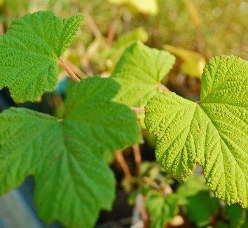 Rubus setchuenensis 1