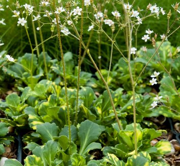 Saxifraga umbrosa 'Variegata' 1 flower