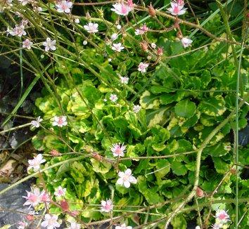 Saxifraga umbrosa 'Variegata' 4 flower