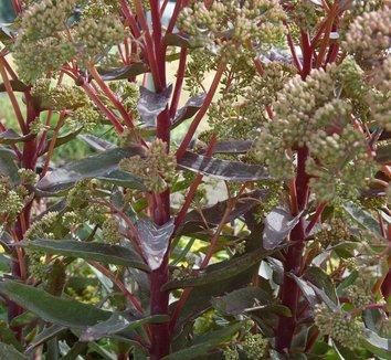 Sedum 'Garnet Brocade' 1 flower