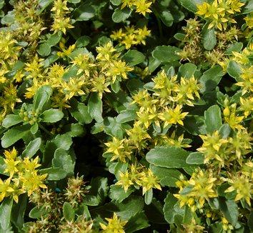 Sedum middendorffianum 1 flower