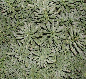 Sedum middendorffianum 5