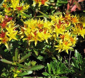 Sedum middendorffianum 6 flower, form
