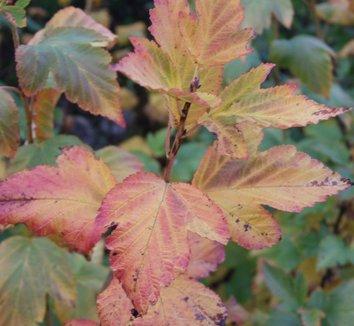 Physocarpus opulifolius 'Dart's Gold' 4