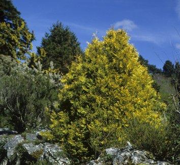 Thuja plicata 'Zebrina' 10 form