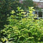 Physocarpus opulifolius 'Dart's Gold'