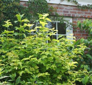Physocarpus opulifolius 'Dart's Gold' 1