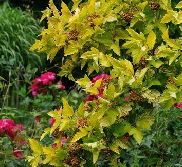 Physocarpus opulifolius 'Dart's Gold' 12