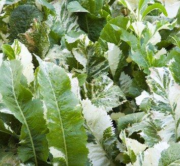 Armoracia rusticana 'Variegata' 1