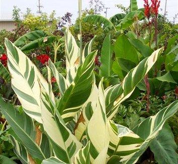 Canna 'Stuttgart' 5 flower