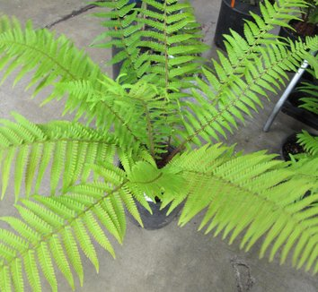 Dryopteris pseudo filix-mas 1