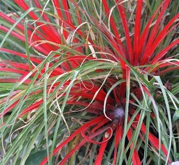 Fascicularia pitcairniifolia [UCBG clone] 9