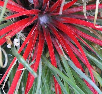 Fascicularia pitcairniifolia [UCBG clone] 7