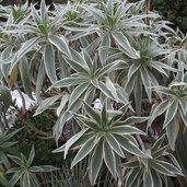 Echium candicans 'Star of Madeira'