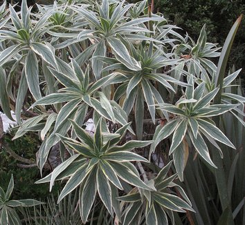 Echium candicans 'Star of Madeira'