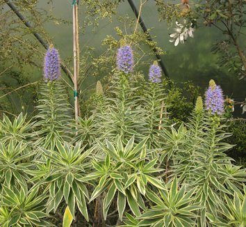 Echium candicans 'Star of Madeira' 7 flower