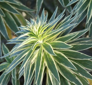 Echium candicans 'Star of Madeira' 9