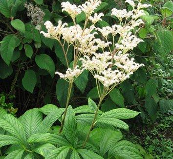 Rodgersia pinnata 8 flower