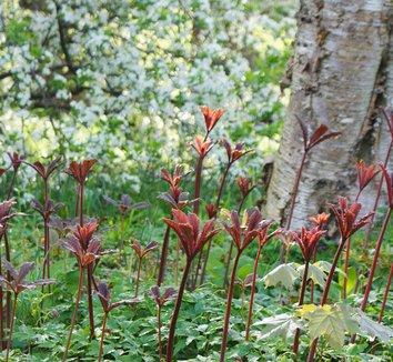 Rodgersia podophylla 3