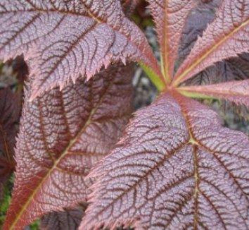 Rodgersia podophylla 5