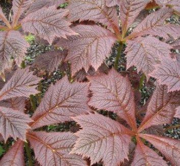 Rodgersia podophylla 6