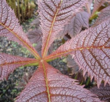 Rodgersia podophylla 7