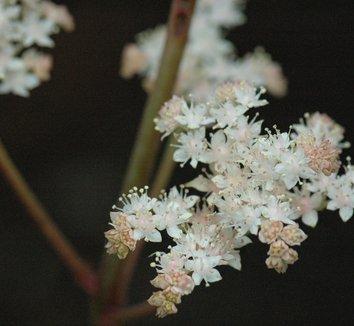 Rodgersia podophylla 8 flower
