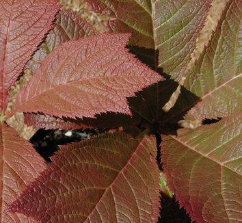 Rodgersia podophylla 9