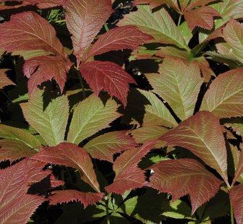 Rodgersia podophylla 10