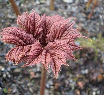Rodgersia podophylla 11