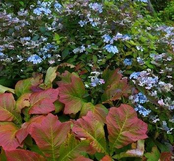 Rodgersia podophylla 12