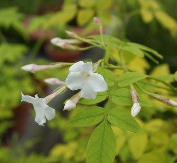 Jasminum officinale 'Fiona Sunrise' 4 flower